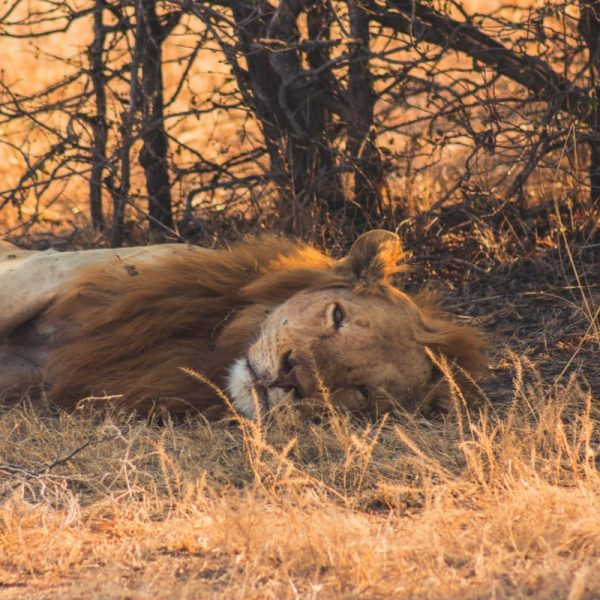 lion-in-south-luangwa-national-park