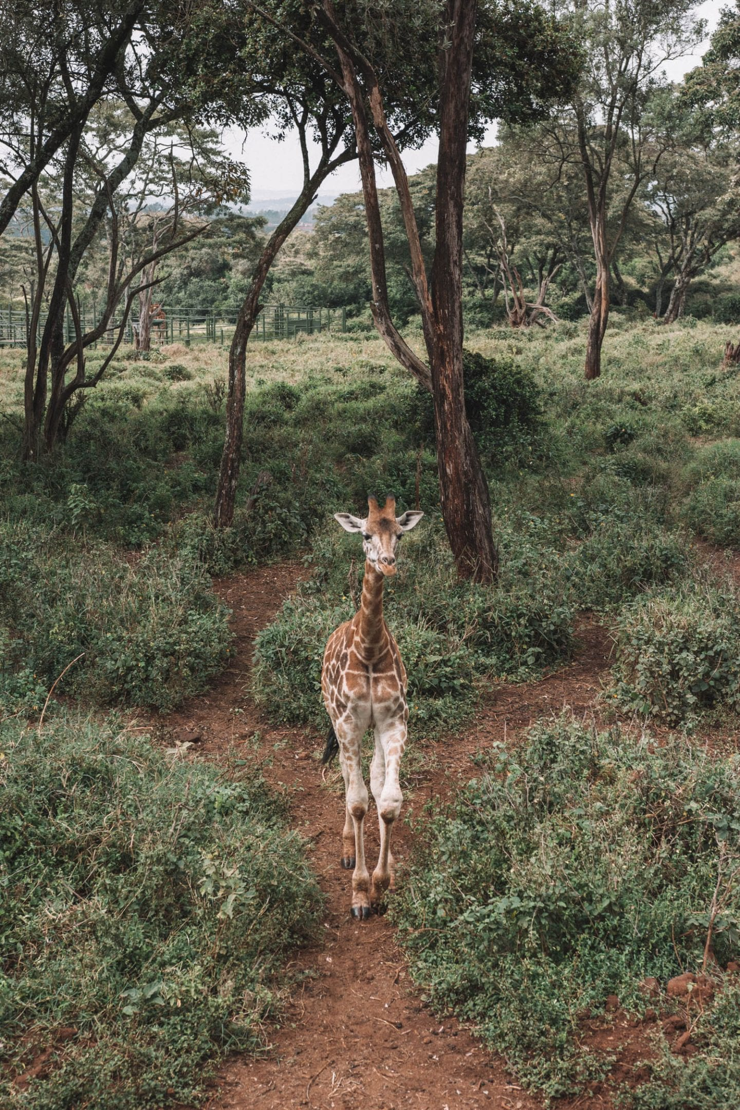 giraffe center in nairobi, kenya