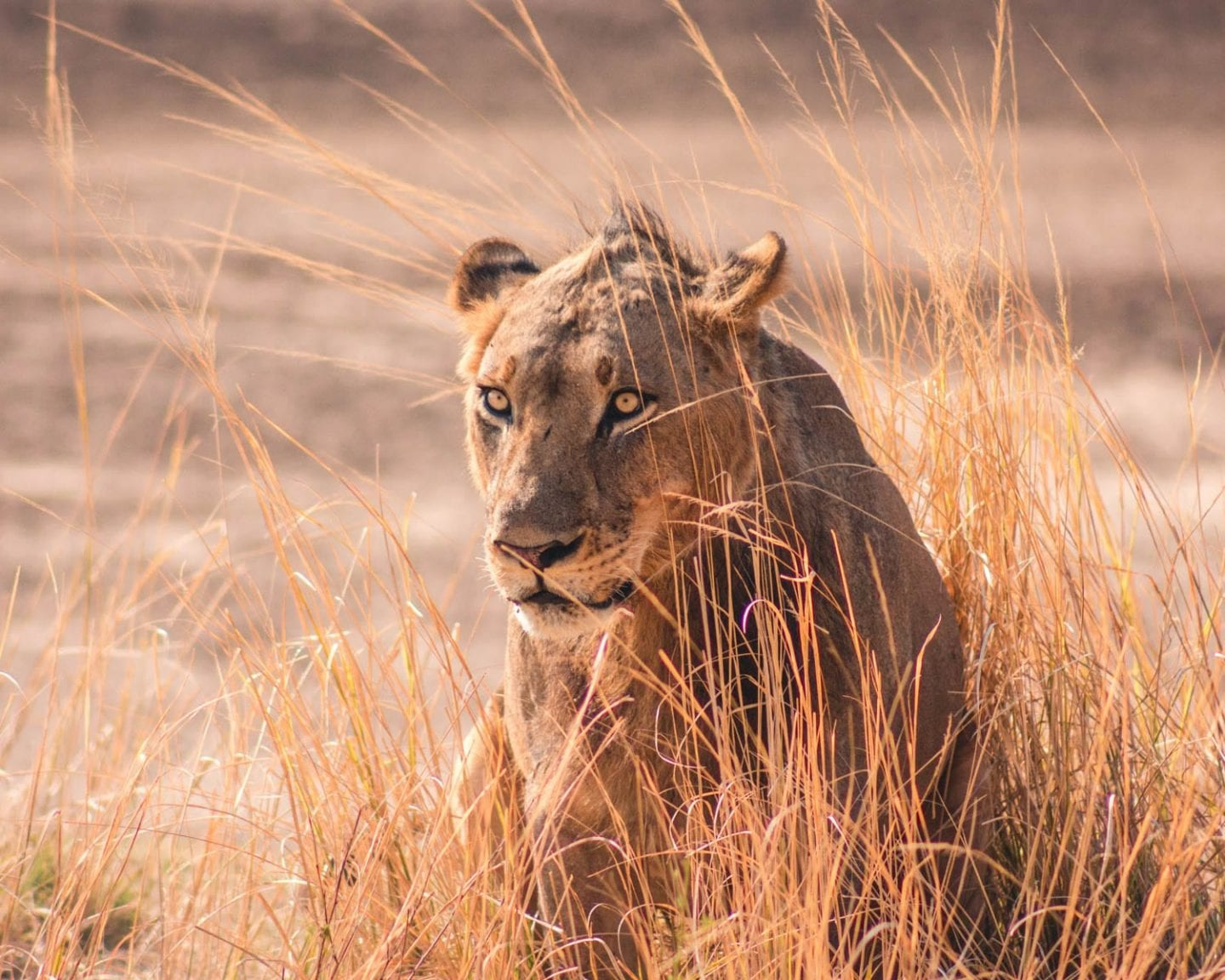 lion in south luangwa national park