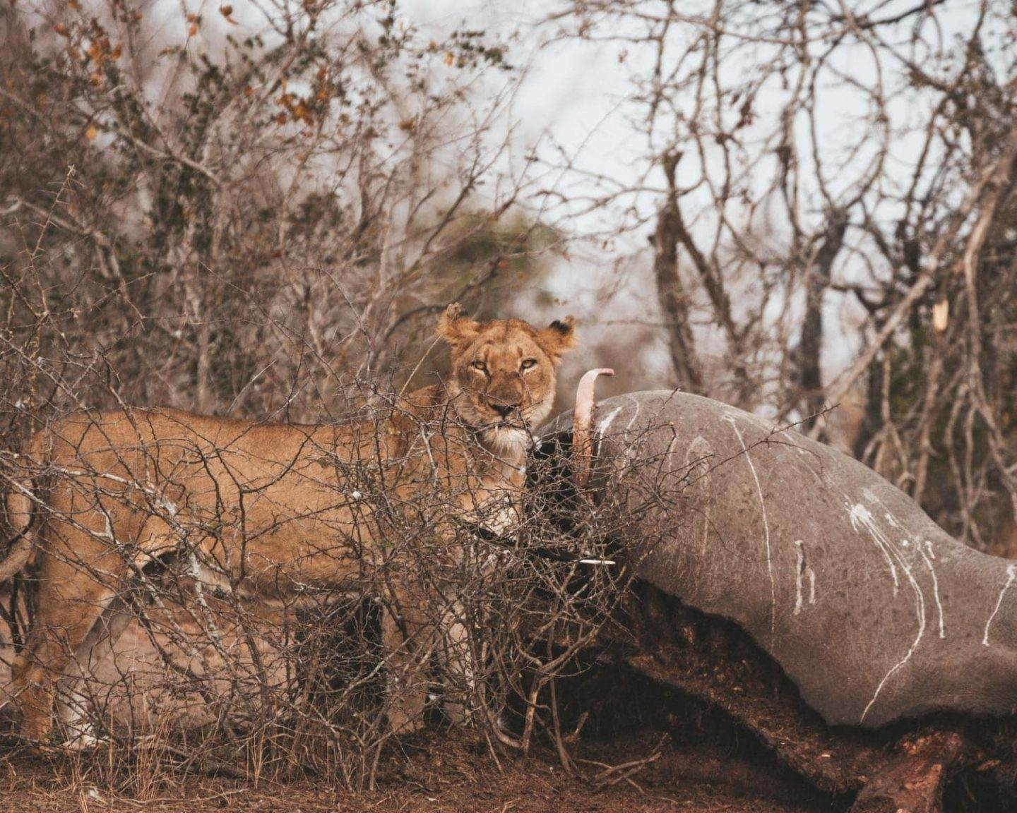 lioness with rhino kill