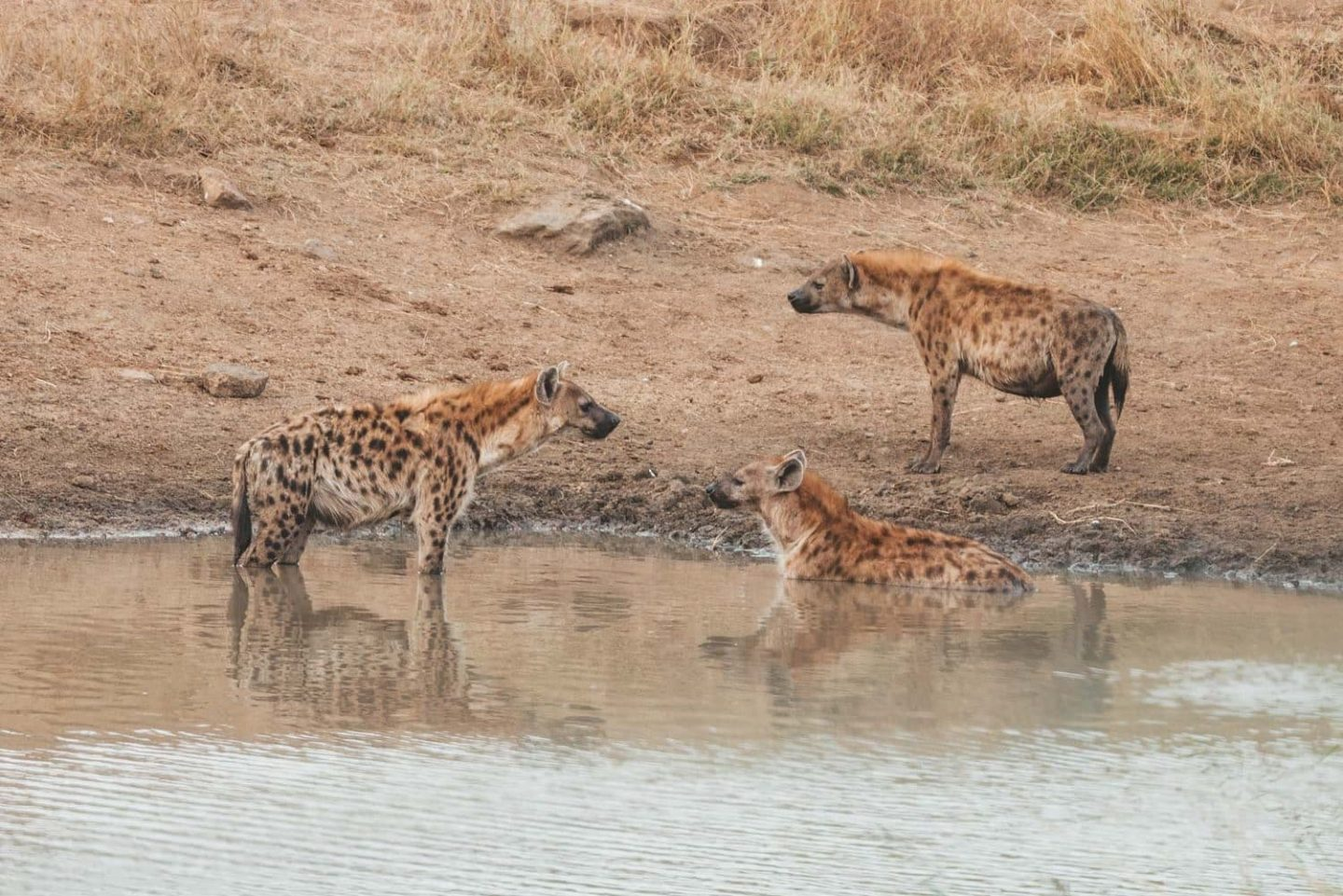 pack of hyenas taking a bath