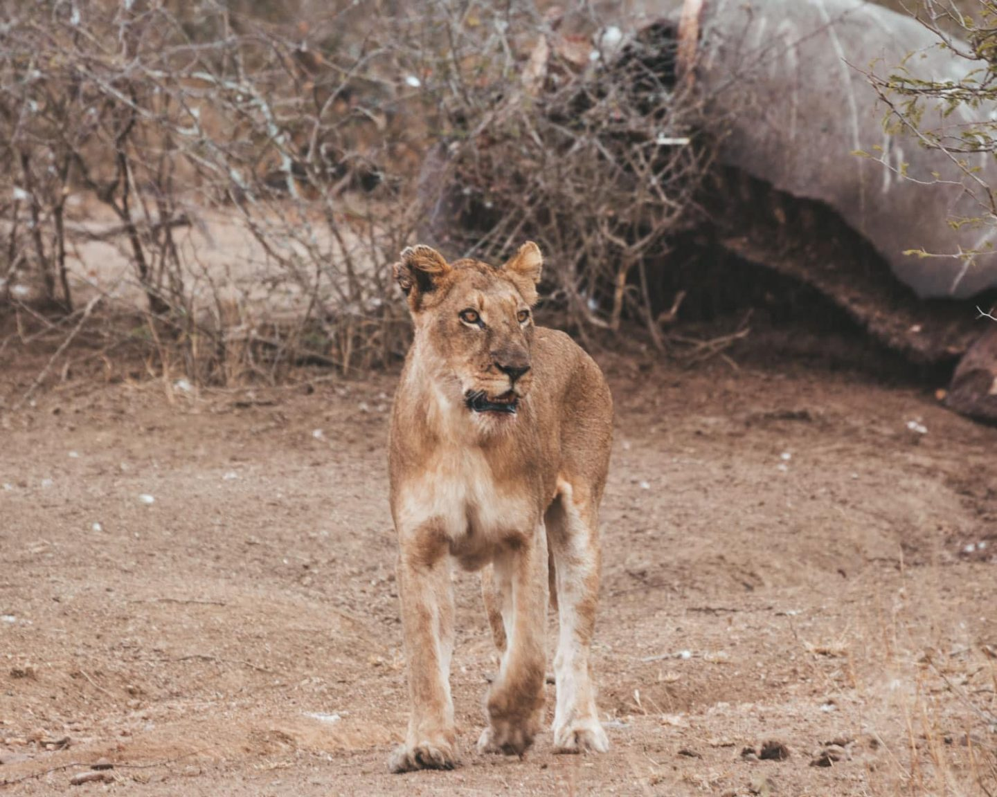 lioness in kruger national park