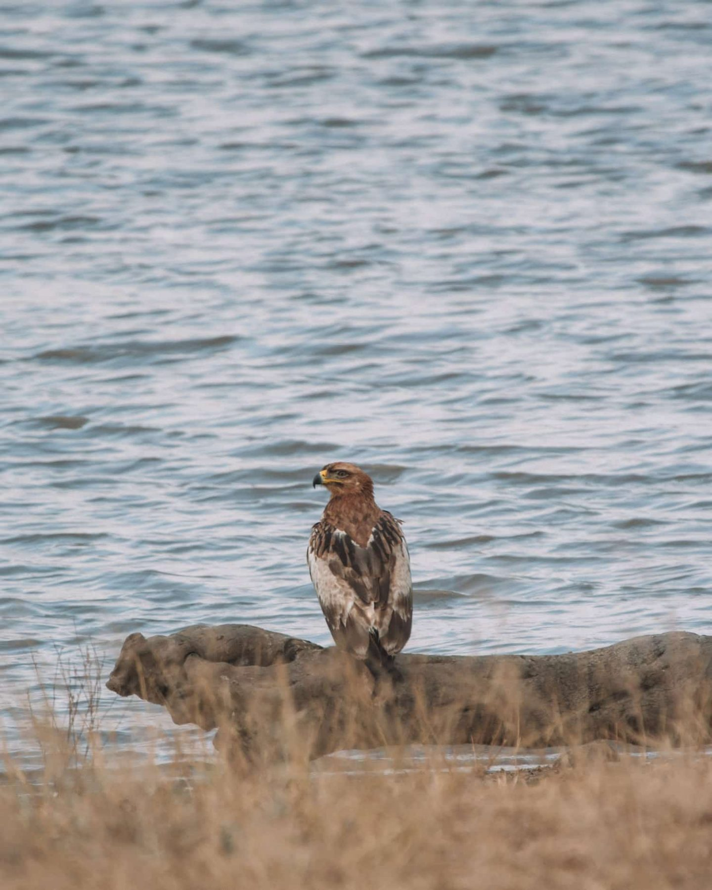 eagle by lake
