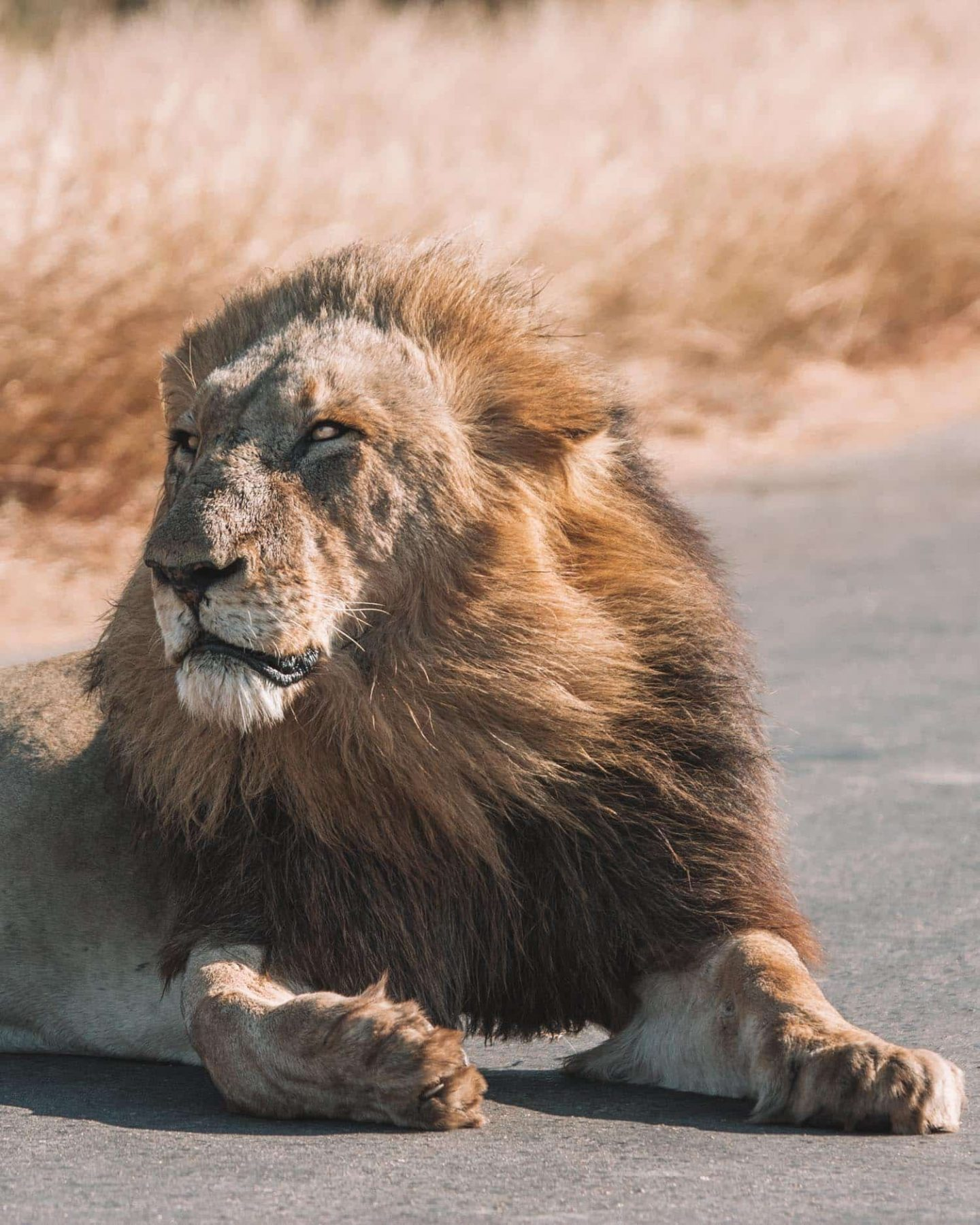 lion sitting in the road in kruger