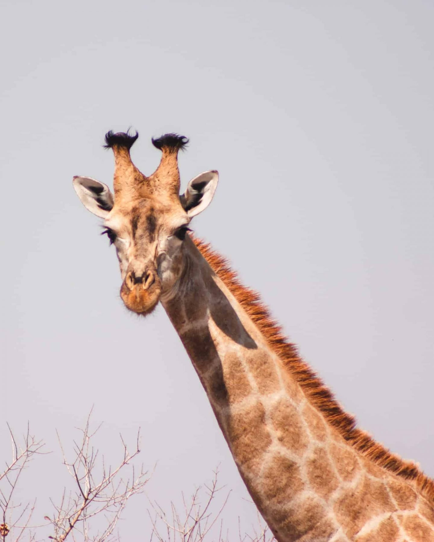 giraffe in nxai pan