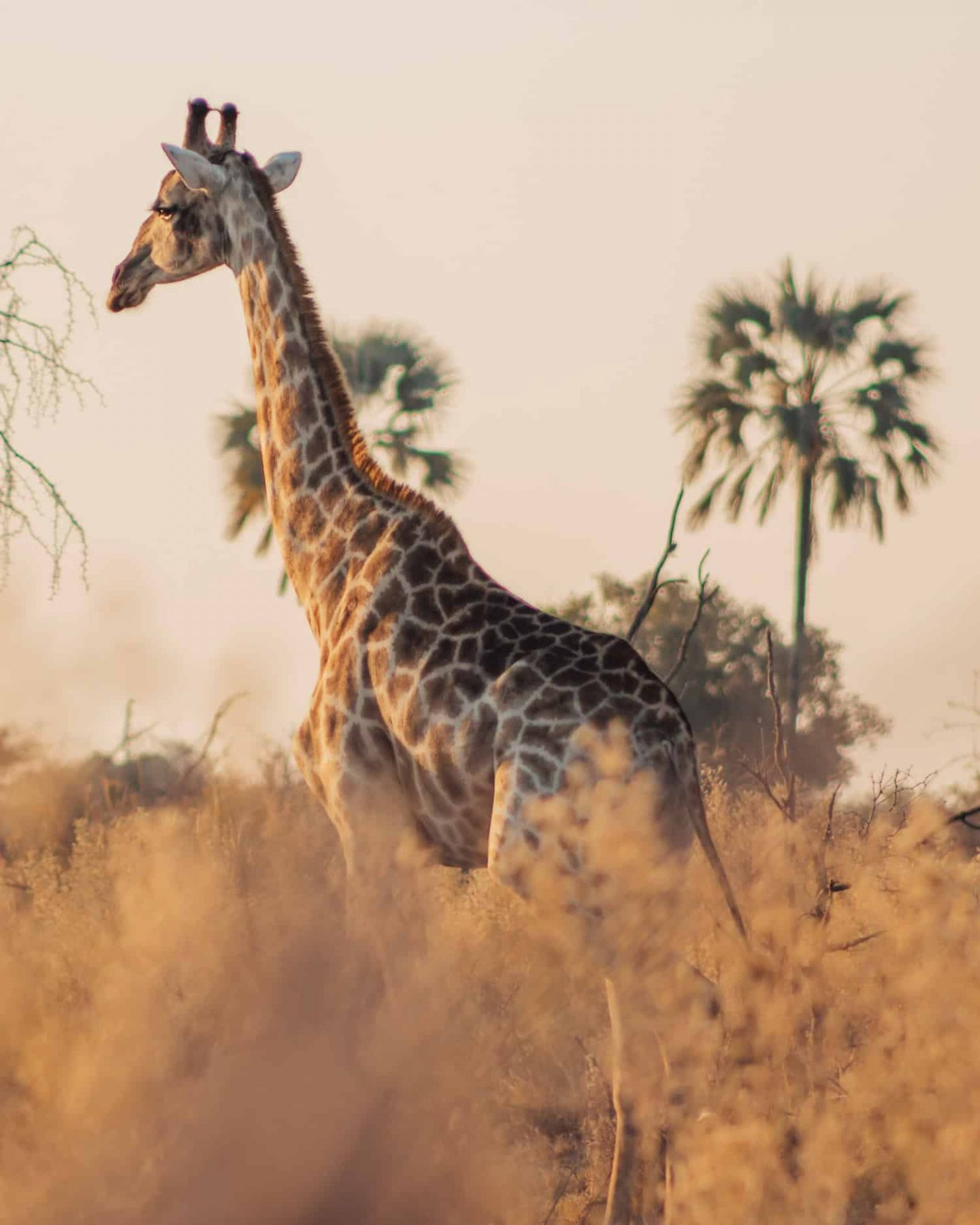 giraffe in the okavango delta