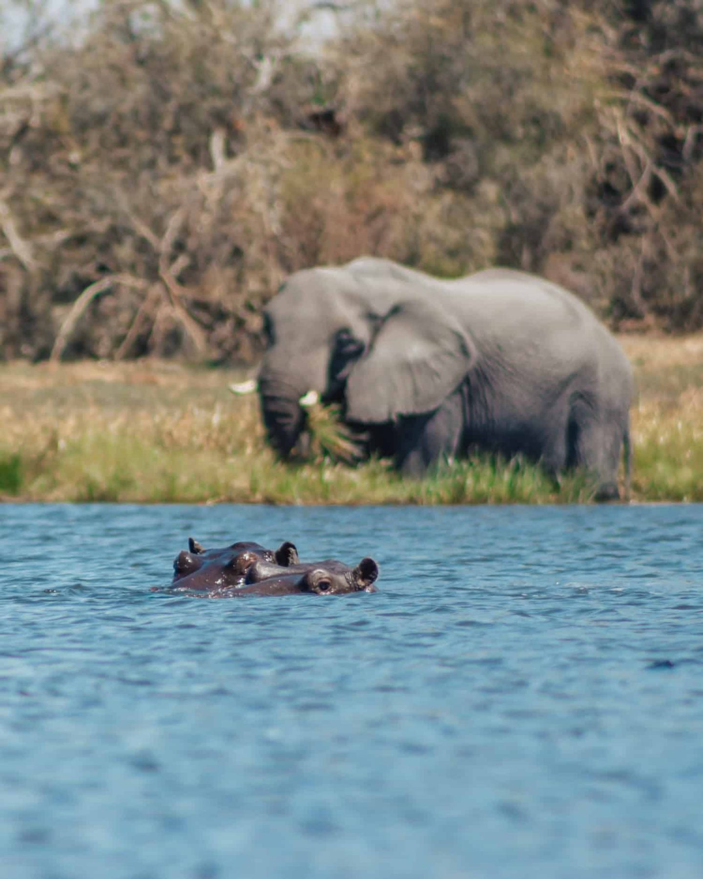 elephant and hippo in the okavango delta