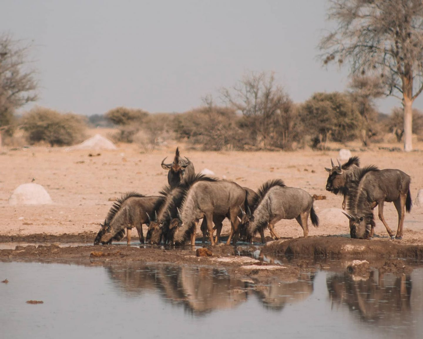 wildebeest at watering hole in nxai pan