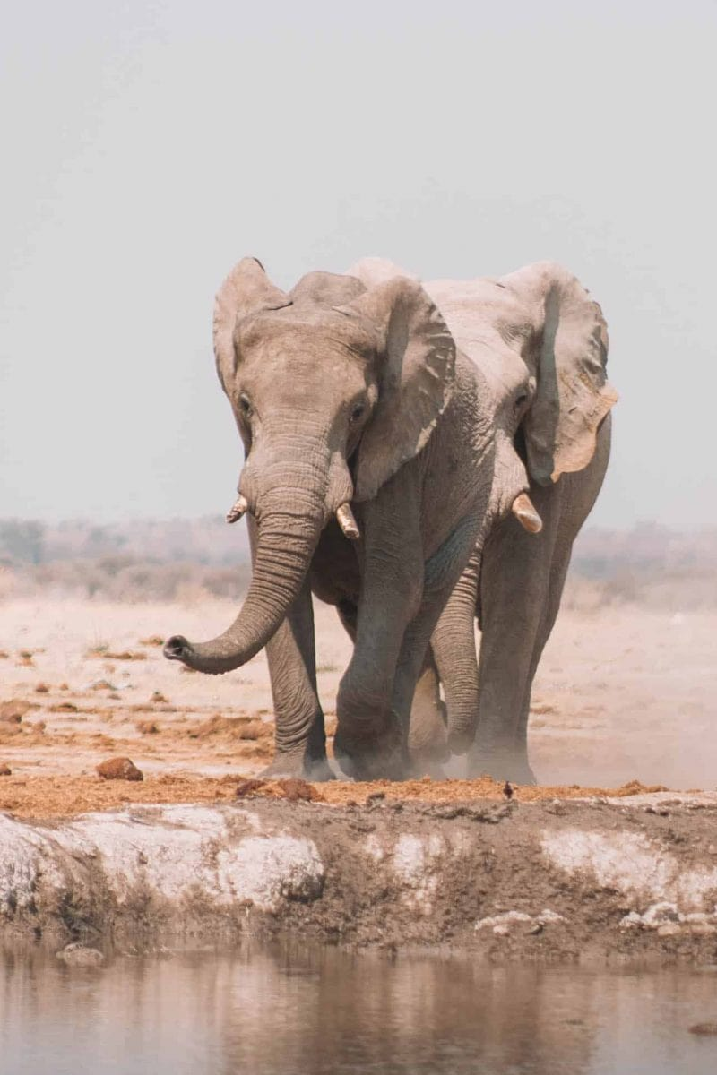 elephants running to the watering hole